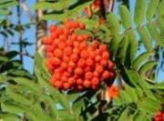 Рябина лекарственное растение